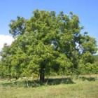 , درخت اعلیحضرت