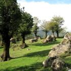 , بلوت (بلوط) جنگل هیرکانی – تالش